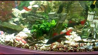 Аквариум дома 180 литров угловой(Нашему аквариуму 2 года!, 2011-10-29T16:22:57.000Z)