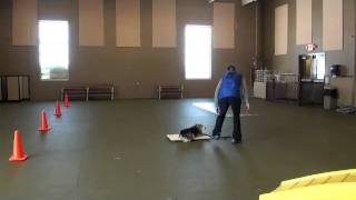Izy (pembroke Welsh Corgi) Boot Camp Dog Training Video