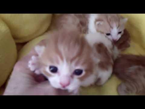 Klassy Babies - Japanese Bobtail Kittens - 03-24-17