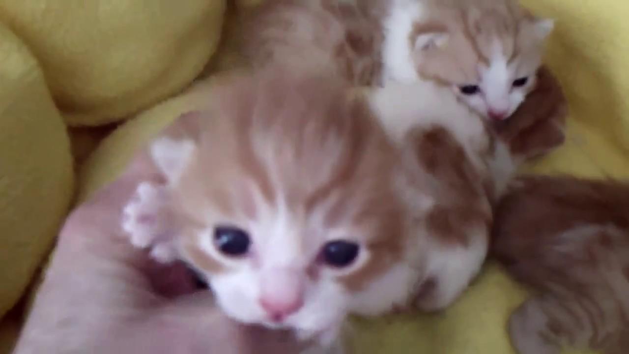 Klassy Babies Japanese Bobtail Kittens 03 24 17