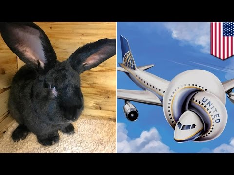 Thumbnail: United Airlines controversy: Giant rabbit dies on United flight from UK to US
