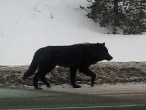 black wolf sighting