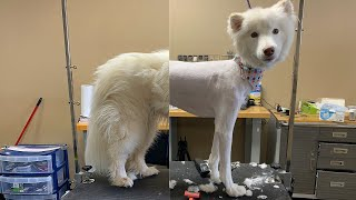 EXTEMELY MATTED DOUBLE COATED ALASKAN DOG | SAV UR FUR DIDN'T WORK THIS TIME
