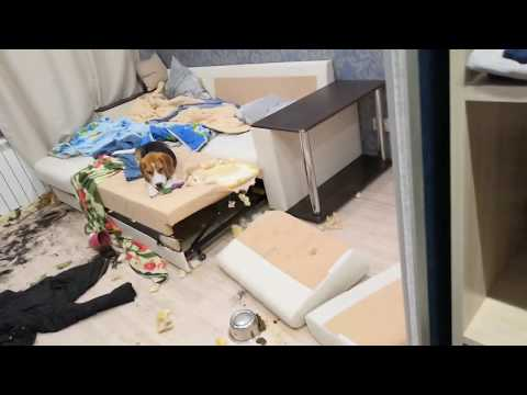 Лабрадор Арчи и Бигль Риччи разрушили квартиру! (Внимание в видео присутствует ненормативная лексика