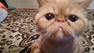 МИЛЫЕ КОТИКИ - ЭКЗОТИКИ | GREAT CATS - EXOTICS