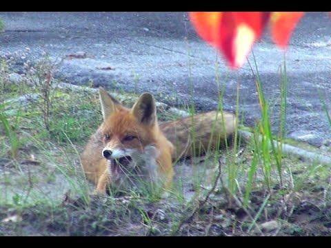 radioactive-chernobyl-wild-zone:-rabies-in-fox-(бешеная-лиса)