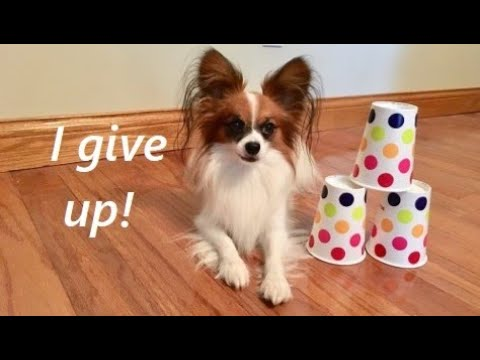 Playing the Cup Game With My Dog! Percy the Papillon