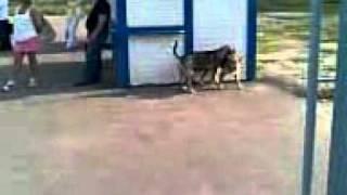 Собаки ебутся.3gp
