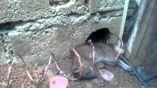 Armadilha elétrica para ratos