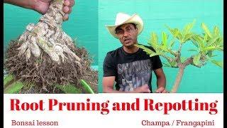 Bonsai Lesson/Root Pruning and Repotting/Champa/Frangapini