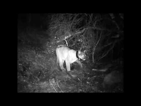 Competition between a Cougar and a Western Spotted Skunk