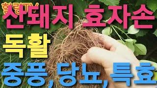 산돼지 효자손, 독활(땅두릅)삽주.