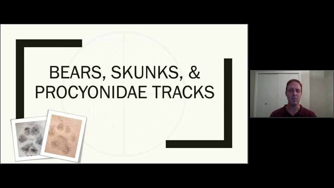 Bears, Skunks, & Procyanidae Track Characteristics