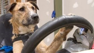Kiwi Rescue Dogs Drive Cars For Glory