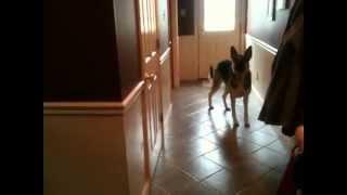 German Shepherd | Manly Sam Shepherd Whining To Make Sure He Isn't Left Behind