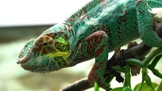 ChameleonFarm