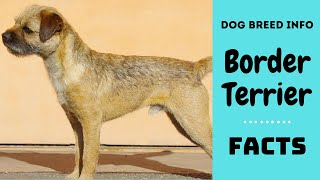 Border Terrier dog breed. All breed characteristics and facts about Border Terrier dogs