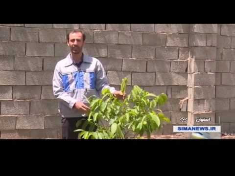 Iran Fast growing Walnut trees, Isfahan province درختان زودر