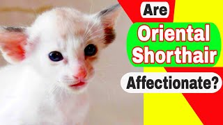 Are Oriental Shorthair cats expensive? Are Oriental cats affectionate?