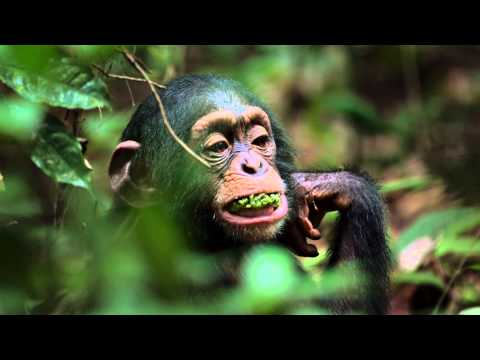 Chimpanzee Trailer - Featuring Jane Goodall