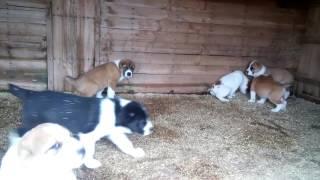 Черные и рыжие щенки среднеазиатской овчарки сао алабай