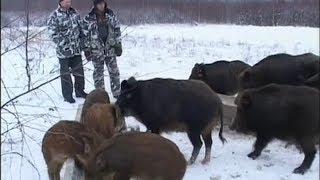 Дичеразведение. Жизнь дикого кабана (Россия, ТК Охота и Рыбалка, 2009)