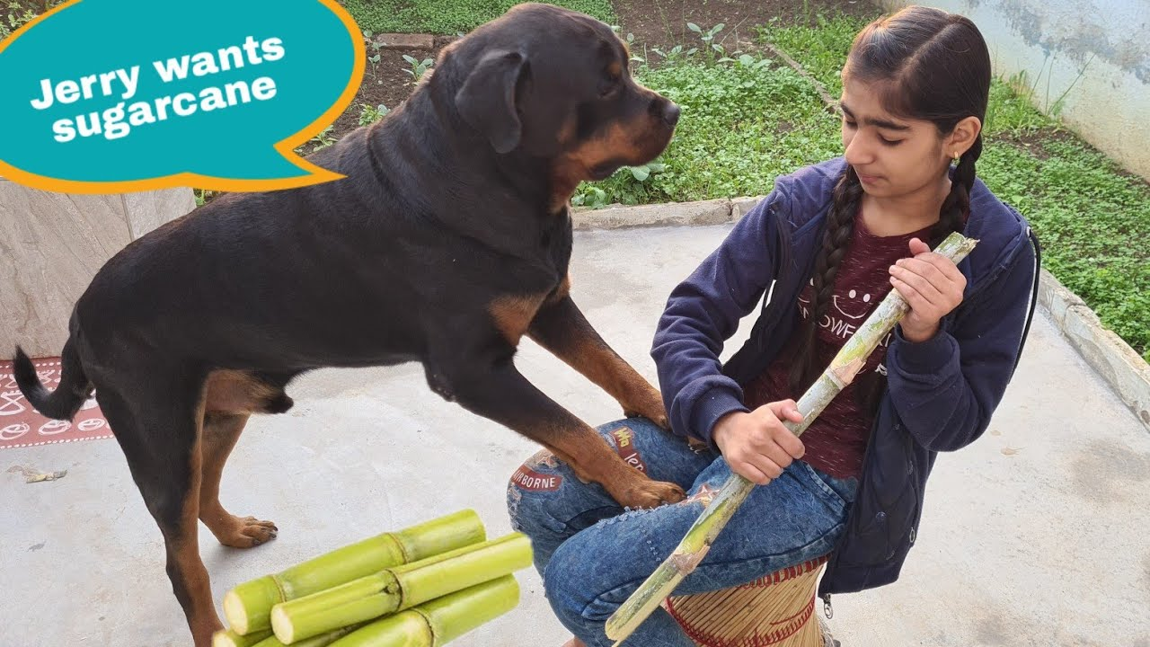 My dog wants to eat sugarcane||devthan spcial ||funny video.