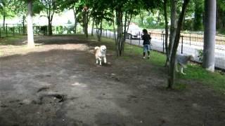 ドッグランで姪っ子ズがかい(北海道犬) せら(サルーキ)と遊んでくれ...