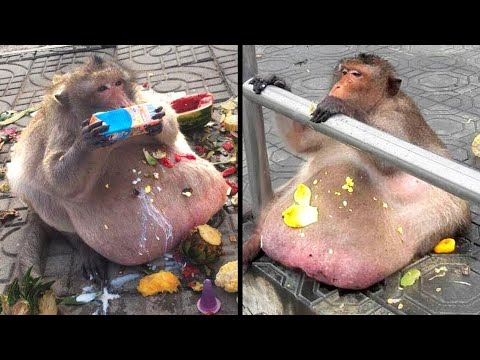 Fattest Animals in the World