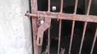 Funny animal videos   Funniest Hot Sexy Animal Video   The Clever Piggy opening door