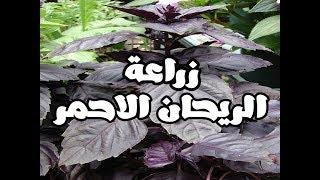 طريقة زراعة الريحان الاحمر( لاول مرة على اليوتيوب) | How to grow red basil seeds