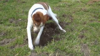 誰もいないので離して散歩していました。楽しそうに穴を掘り始めました...