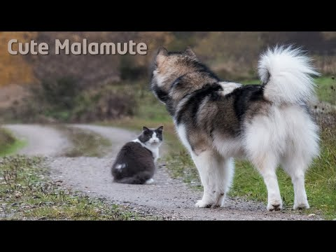 Alaskan Malamutes walking in the forest with a cat