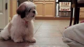 Shih Tzu Training - Cooper Shakes Hand