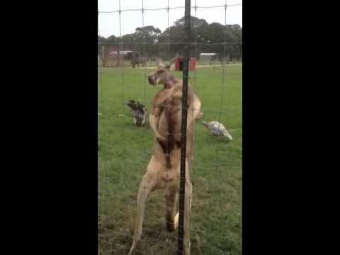 Man punches kangaroo. Try that with him!