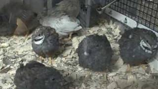 Button Quails - Sing It Boys
