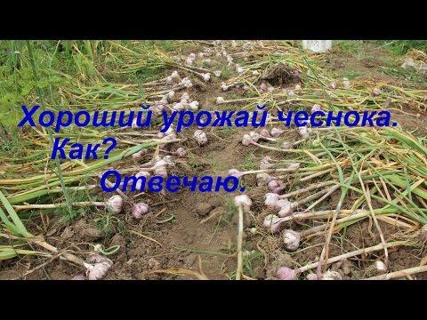 Почему чеснок желтеет на грядке. Выращивание, подкормка, болезни.  Листья чеснока весной. Видео