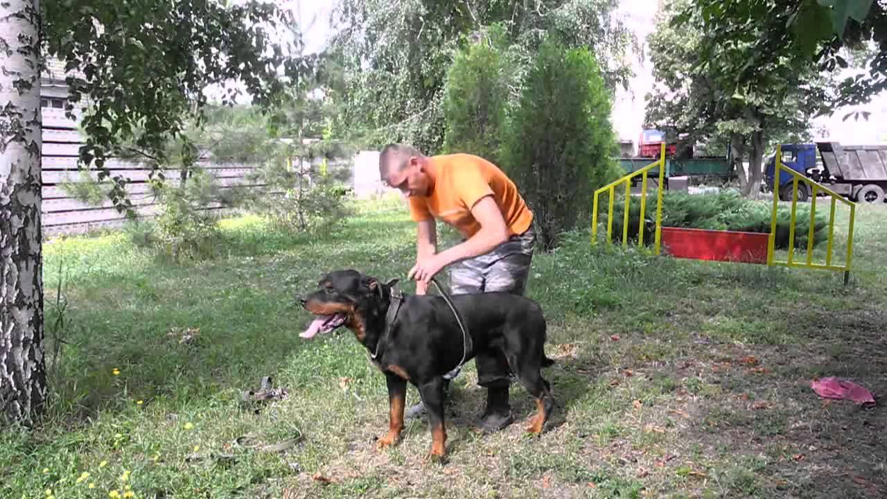 Бронкс, тренировка собаки.Шлейка с грузом 10кг - YouTube