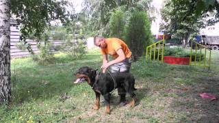 видео Правильно надевать ошейник собаку