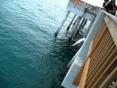 Panama City Beach Pier Park Shark Catch 2010