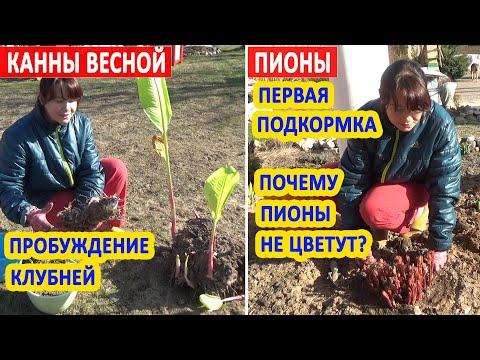 КАННЫ ВЕСНОЙ: проращивание клубней и подготовка к посадке. ПИОНЫ ВЕСНОЙ: первая важная подкормка!