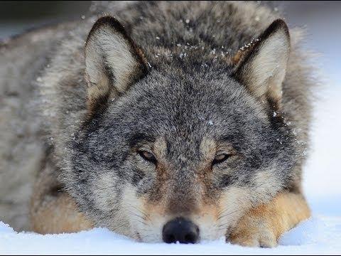 Как живут волки в лесу