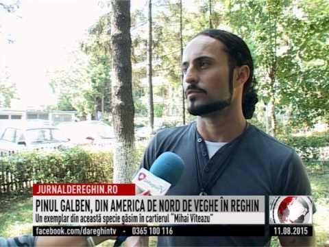 PINUL GALBEN, DIN AMERICA DE NORD DE VEGHE ÎN REGHIN (2015 08 11)