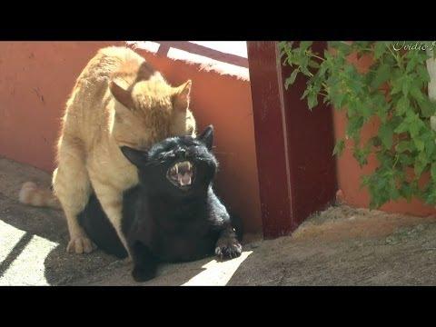 Full download como se aparean los gatos - Imagenes de animales apareandose ...