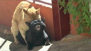 Cats making love breeding (HD)