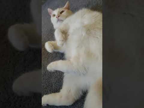 Cat Massage for Mac