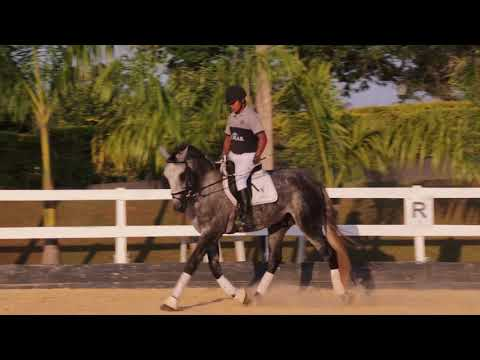 Lote 13 -Magno do castanheiro Cavalos puro sangue Lusitanos - Coudelaria aguilar