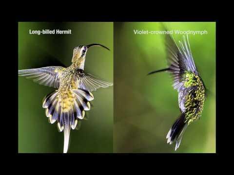 Honduras Hummingbirds