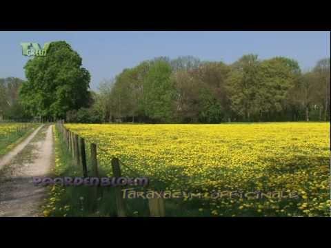 Paardenbloemenwei - Taraxacum officinale