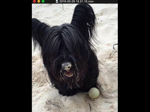 Freddie the Skye Terrier